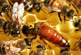 Пчелиная матка- как и для чего их метят.